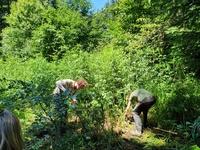 <p>  Odstranjevanje deljenolistne rudbekije v letu 2020, Foto: Mateja Nose Marolt </p>