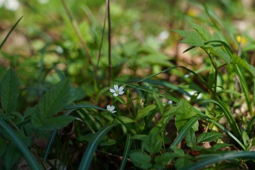 <p>  Evropska gomoljčica (Pseudostellaria europaea) </p> <p>  Foto: Luka Šparl </p>
