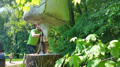 <p> V delno zakopanih deblih, v katerih se nahaja lesni mulj, se namreč ličinke hrošča razvijejo v odrasle živali.<br> Foto: Saša Vochl </p>