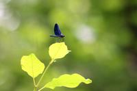 <p>  Modri bleščavec (<em>Calopteryx virgo</em>), samec, NR Mali Rožnik; Foto: Luka Šparl (Arhiv KP TRŠh) </p>