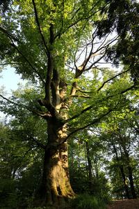 Bukev - Šišenski hrib - naravna vrednota; Foto: Luka Šparl (Arhiv KP TRŠh)