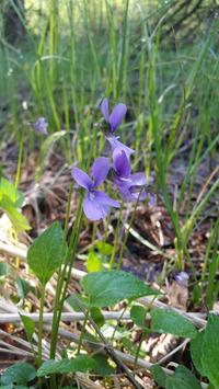 <p>  Barjanska vijolica (<em>Viola uliginosa</em>); Foto: Luka Šparl (Arhiv KP TRŠh) </p>