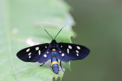 <p>  Ivanjska ptičica (<i>Amata phegea</i>), NR Mali Rožnik; Foto: Luka Šparl (Arhiv KP TRŠh)<br> </p>