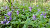 <p>  Barjanska vijolica (<i>Viola uliginosa</i>); Foto: Luka Šparl (Arhiv KP TRŠh) </p>